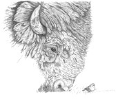 "Brown Headed Cowbird Limited Edition Pencil Drawing Giclée 12""X 16"" - $240.00 ORIGINAL SOLD"