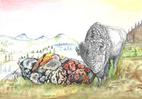 "Sleeping Buffalo 14"" X 20"" Limited Edition Watercolor Giclée "" x "" 25 s/n - $350.00"