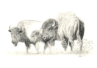 bison drawings,buffalo art,wildlife illustrations, paintings, sketches